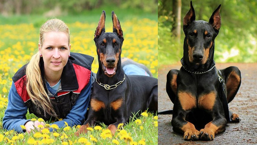 9 Things Only People Who Are Obsessed With Doberman Will Understand
