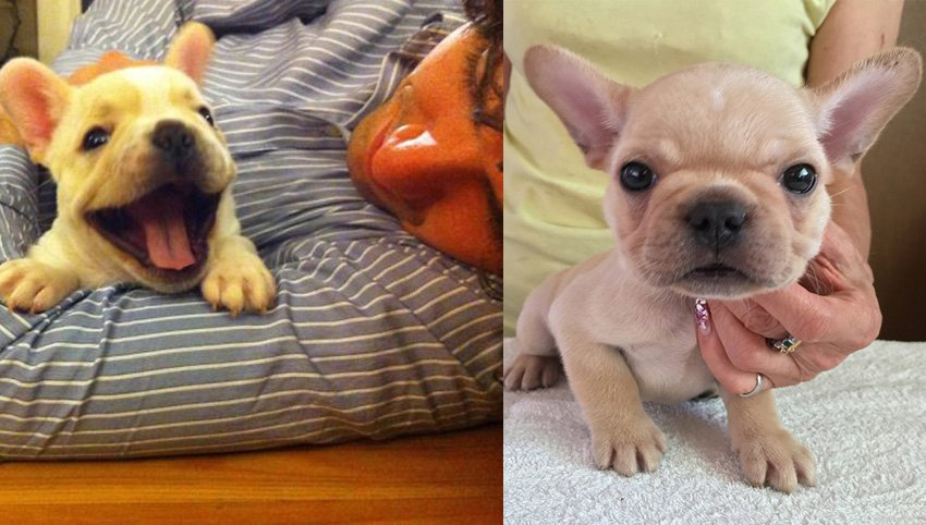 9 Reasons Why Everyone Loves A Frenchie