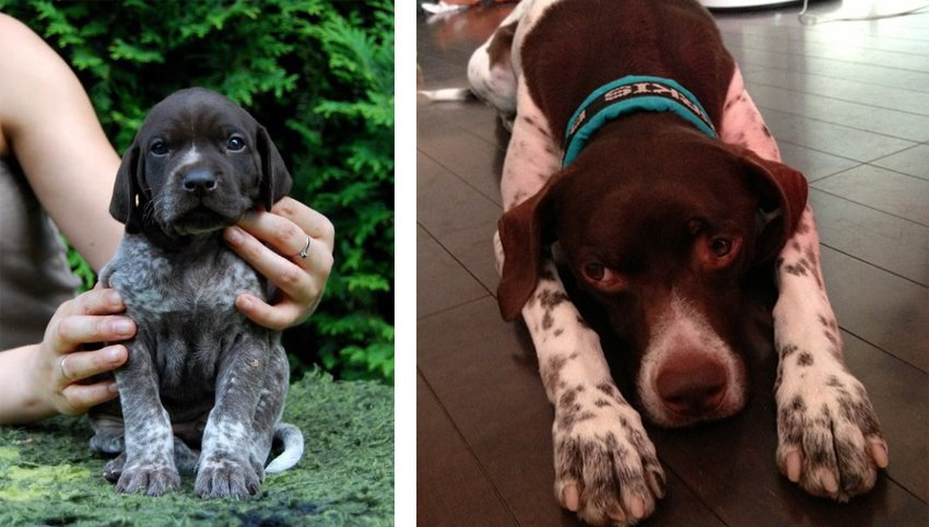 "8 Signs Your German Shorthaired Pointer is Actually Your ""Baby"""