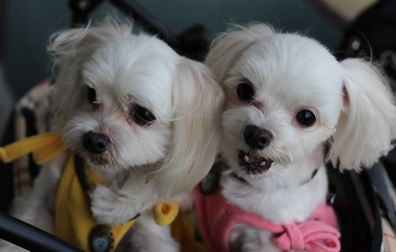 7 Ways to Know if Your Maltese Bonded to You