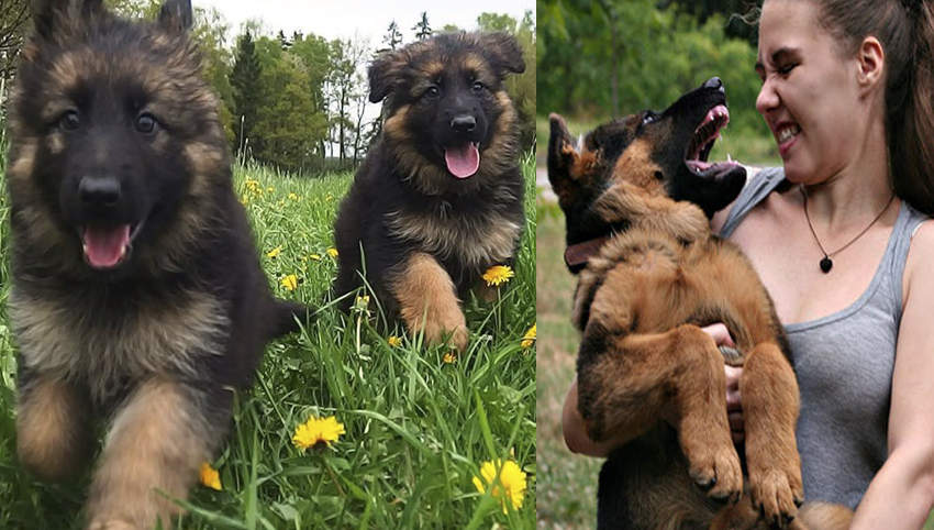 9 Things Only People Who Are Obsessed With German Shepherd Will Understand