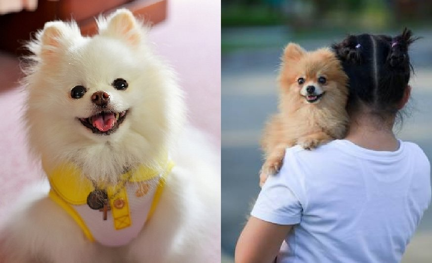 7 Ways to Know if Your Pomeranian is Bonded to You