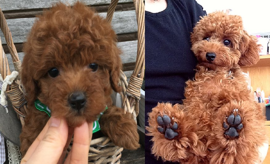 "9 Signs Your Poodle is Actually Your ""Baby"""