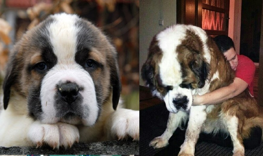 7 Ways to Know if Your Saint Bernard is Bonded to You