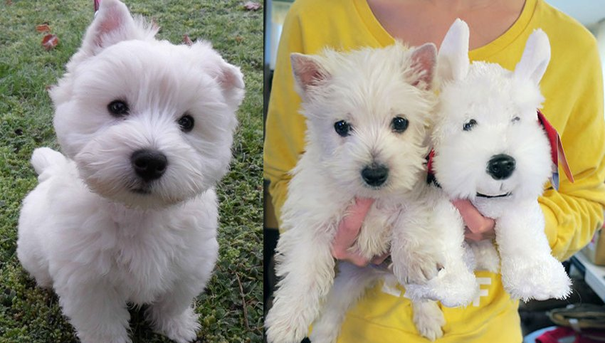 """9 Signs Your Westie is Actually Your """"Baby"""""""