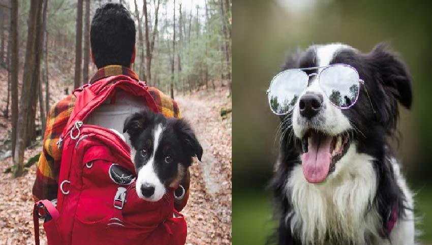 8  Signs Your Border Collie Fully In Charge