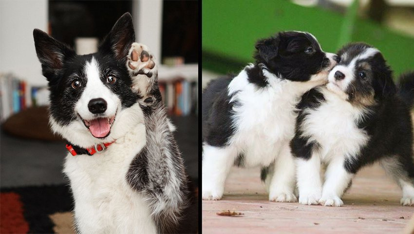 10 Ways Your Border Collie is Secreatly Communicating With You