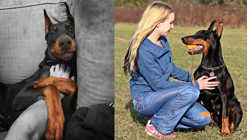 12 Reasons Why Dobermans Should Be Illegal