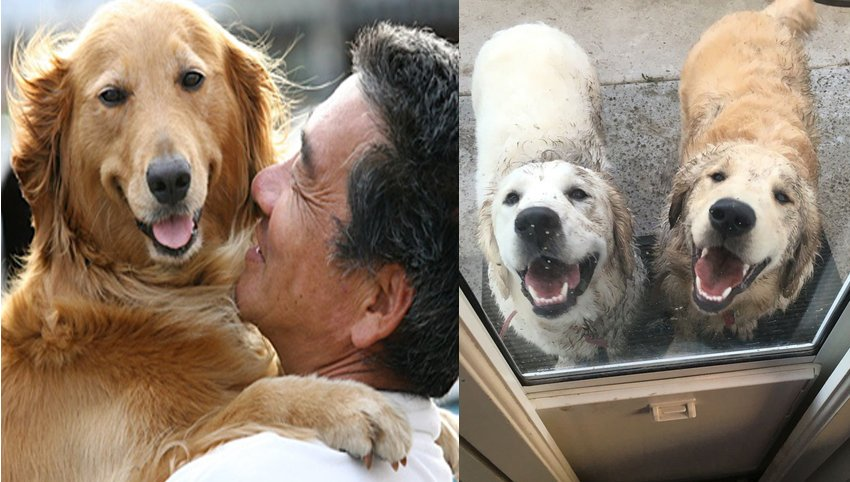 10 Ways Your Golden Retriever is Secreatly Communicating With You