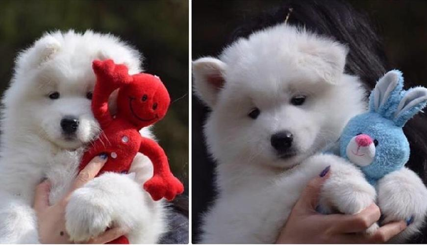 9 Signs That Your Samoyed Is Your Soulmate