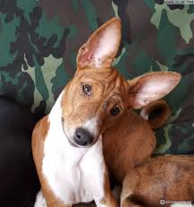 9 Signs That Your Basenji Is Your Soulmate