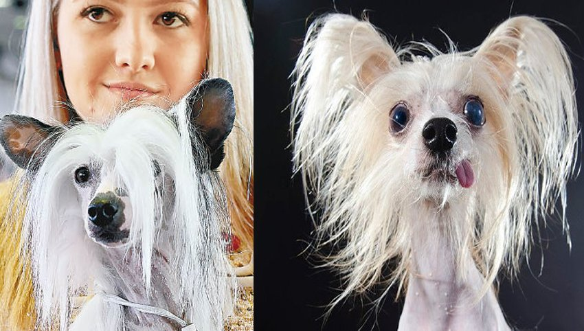 7 Ways to Know if Your Chinese Crested is Bonded to You