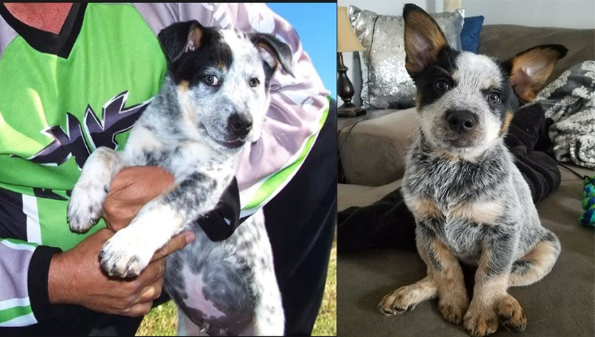 9 Reasons Why Everyone Loves A Heeler