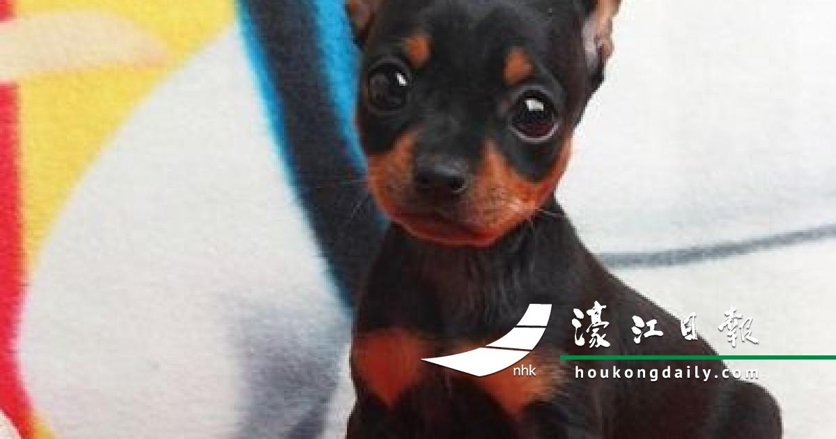 9 Signs That Mini Pinscher dog Is Your Soulmate