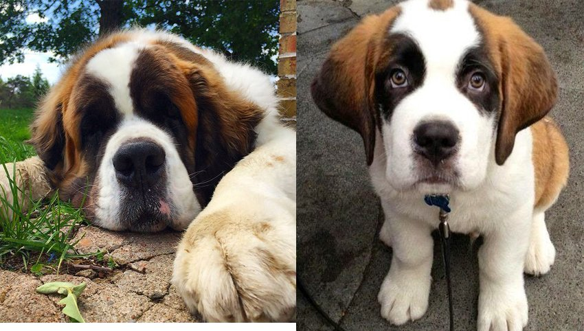9 Things Your Saint Bernard  Wants to Tell You