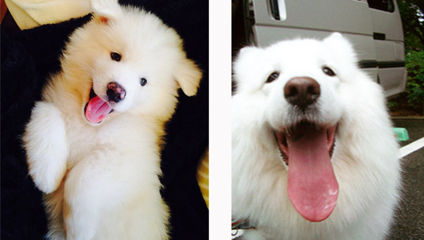 9 Things Your Samoyed Wants to Tell You