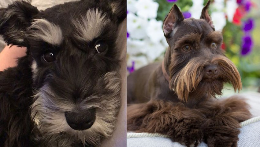 9 Things Your Schnauzer Wants to Tell You