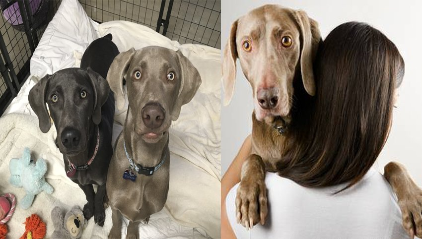 9 Rules  Weimaraner Have For You