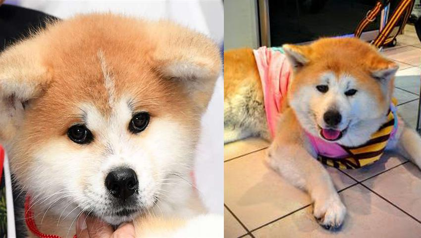 9 Rules Akitas Have For You