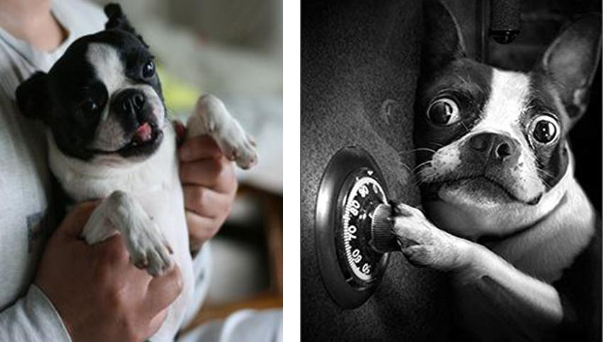 9 Rules Boston Terriers Have For You