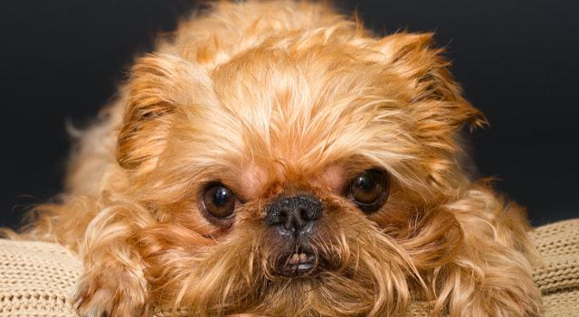 9 Rules Brussels Griffons  For You