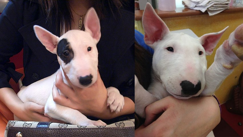 9 Rules Bull Terriers Have For You