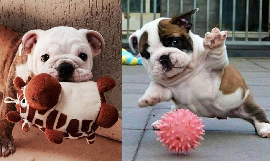 7 Ways Bulldogs Are The Most Adorable Things Alive