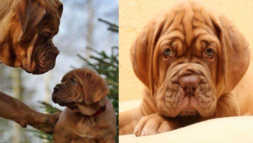 7 Signs Your Dogue de Bordeaux Is Really A Human In Disguise