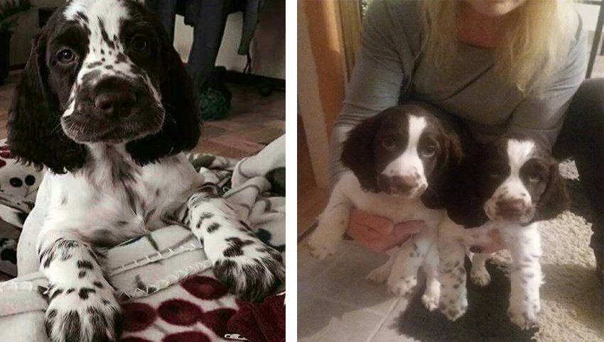 8  Signs Your English Springer Spaniel Fully In Charge