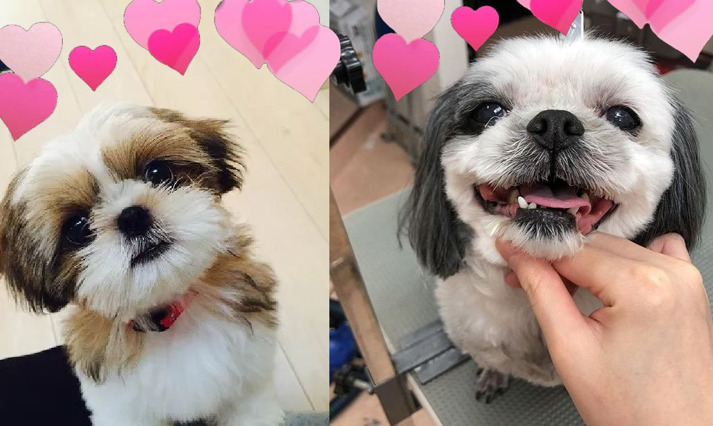 Reasons to Madly Fall in Love With Shih Tzu Dogs