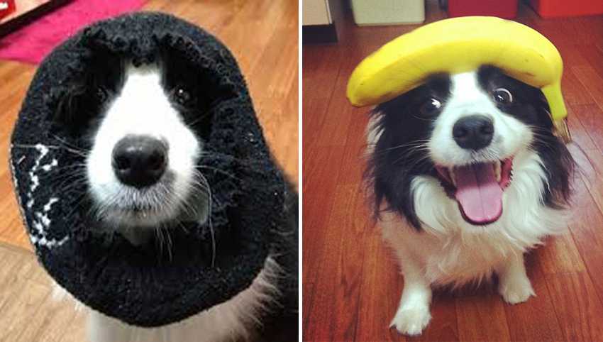 7 Signs Your Border Collie Is Really A Human In Disguise