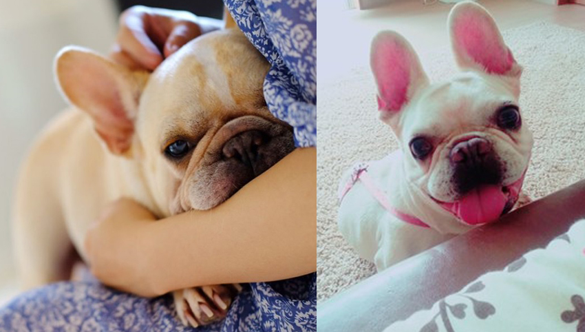 9 Reasons Frenchies Are So Addictive