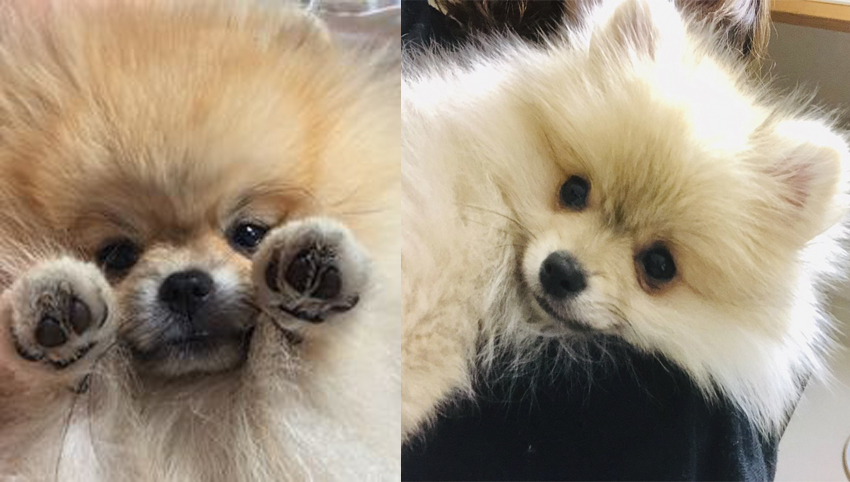 6 Ways You May Be Hurting Your Pomeranian's Feelings Without Even Knowing It