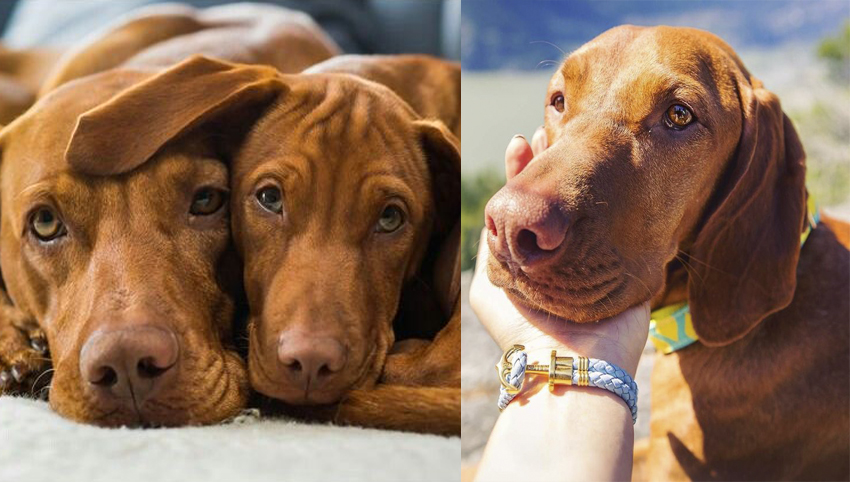 6 Ways You May Be Hurting Your Vizsla's Feelings Without Even Knowing It