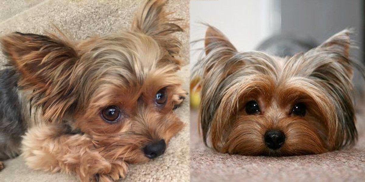 6 Ways You May Be Hurting Your Yokie's Feelings Without Even Knowing It