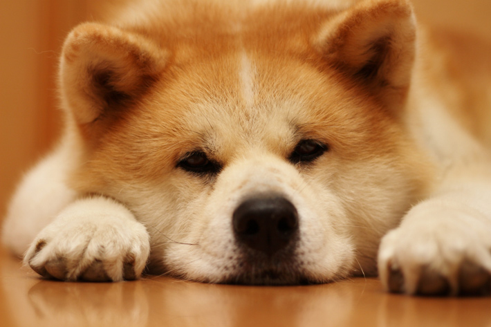 6 Ways You May Be Hurting Your Akita's Feelings Without Even Knowing It