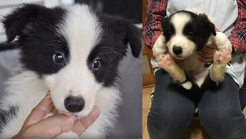 8 Reasons You Should Avoid Border Collie Dogs At All Costs