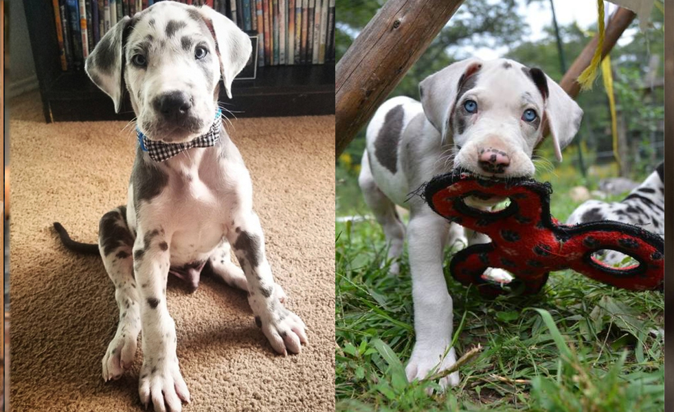 9 Reasons  Great Danes Are So Addictive