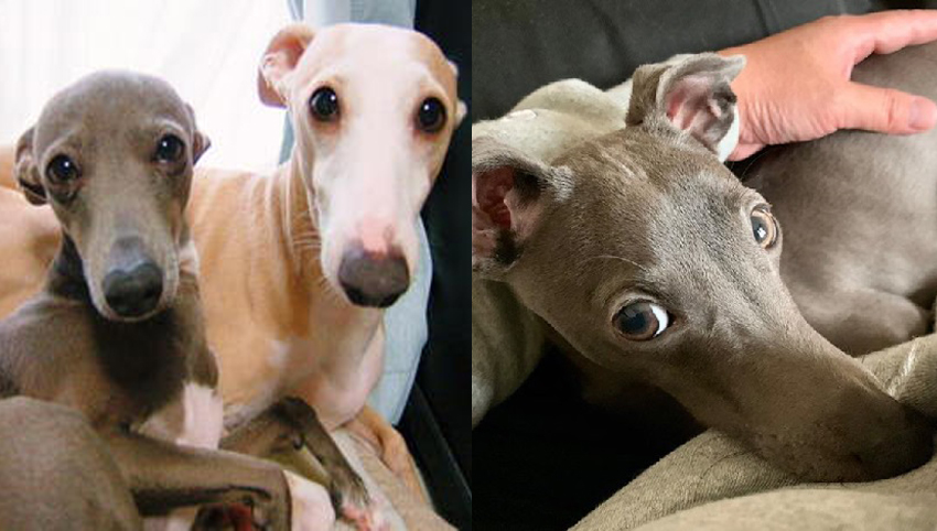 6 Ways You May Be Hurting Your Italian Greyhound's Feelings Without Even Knowing It