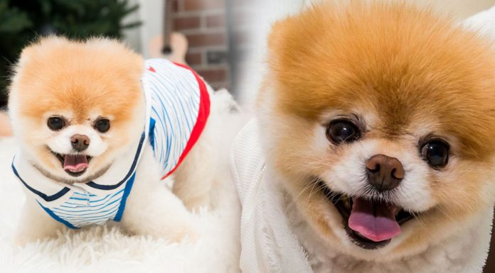 10 Reasons Pomeranians Are So Addictive