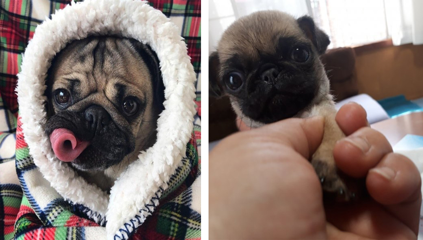 10 Reasons Pugs Are So Addictive