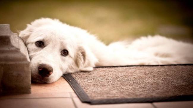 8 Signs Your Great Pyrenees Is Secretly Mad at You