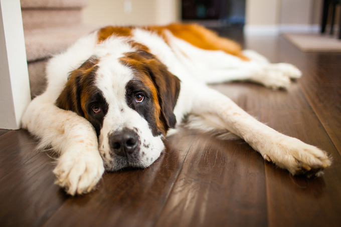 Study Reveals How Long It Takes To Fall In Love With a  Saint Bernard