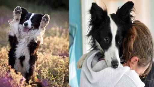 9 Reasons Why Everyone Loves A Border Collie