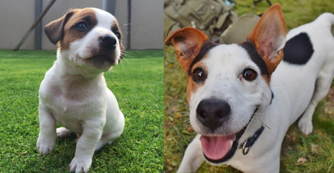 9 Reasons Jack Russells Are So Addictive