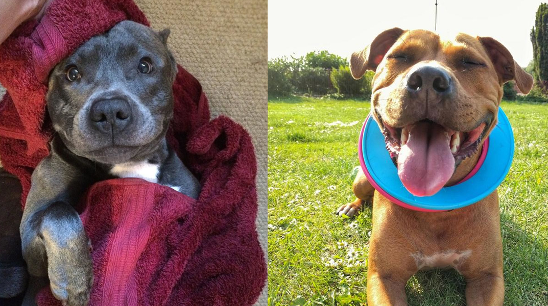 """9 Signs Your Staffy is Actually Your """"Baby"""""""
