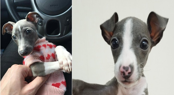 12 Reasons Why Italian Greyhounds Should Be Illegal