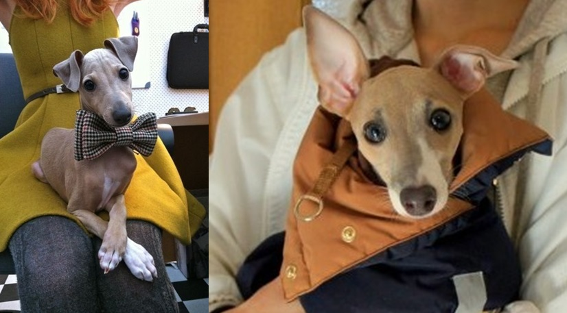 """9 Signs Your Italian Greyhound is Actually Your """"Baby"""""""
