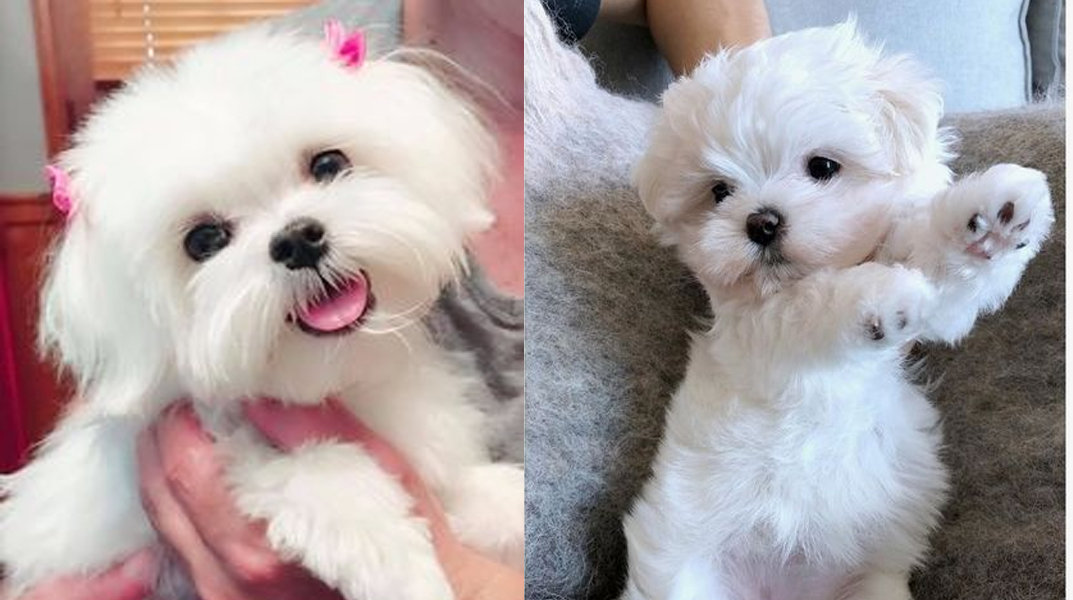 """9 Signs Your Maltese is Actually Your """"Baby"""""""