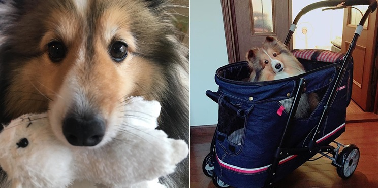 """9 Signs Your Sheltie is Actually Your """"Baby"""""""